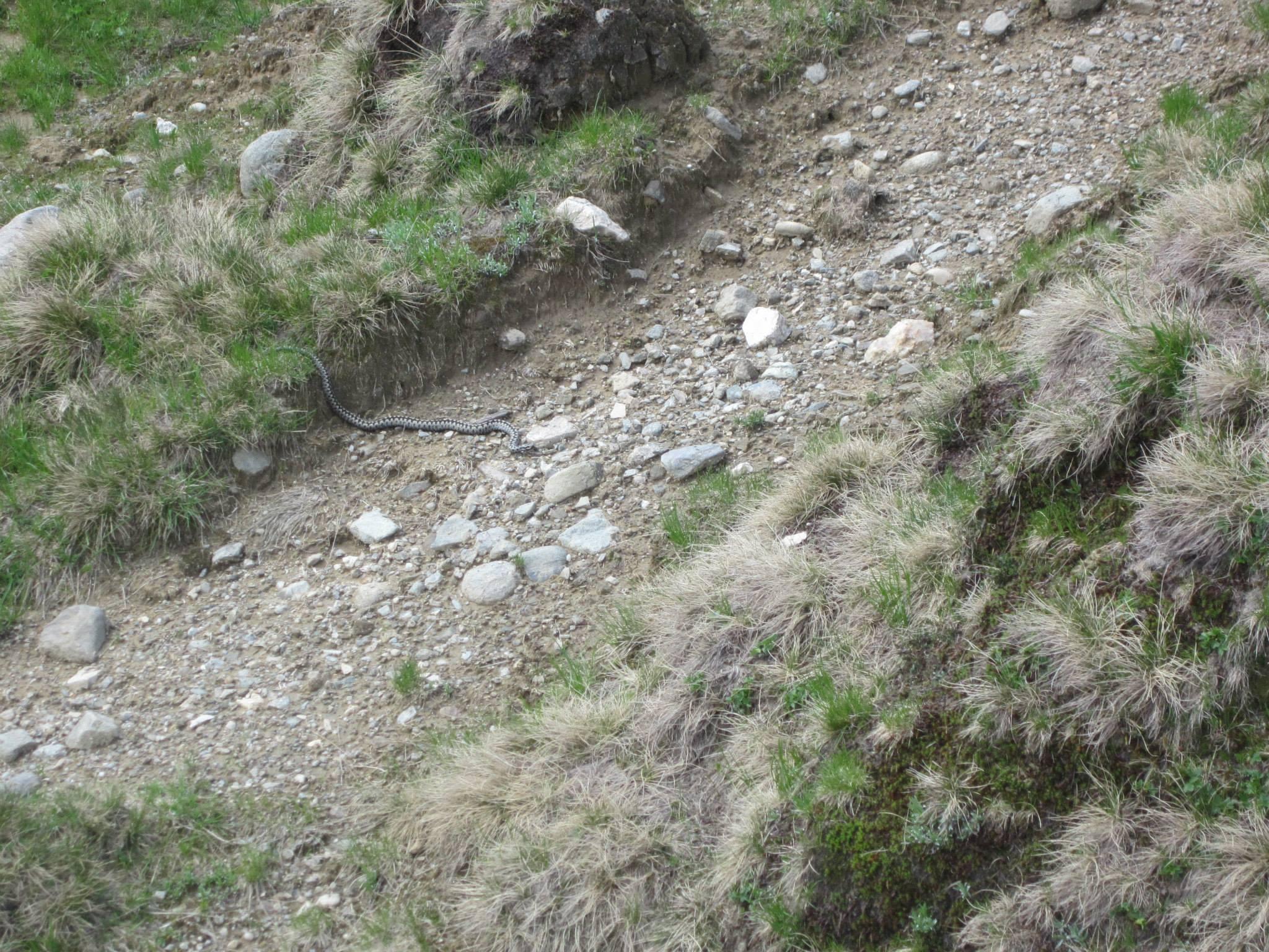 vipere - traseul Valea Horoabelor - muntii Bucegi