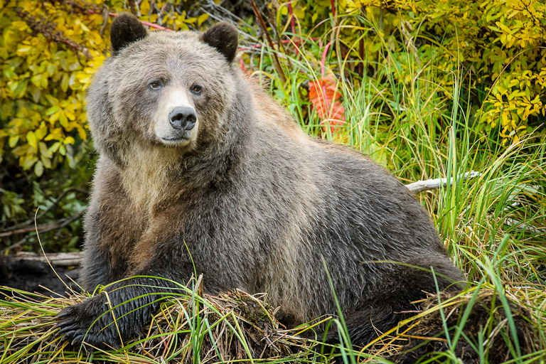 urs grizzly