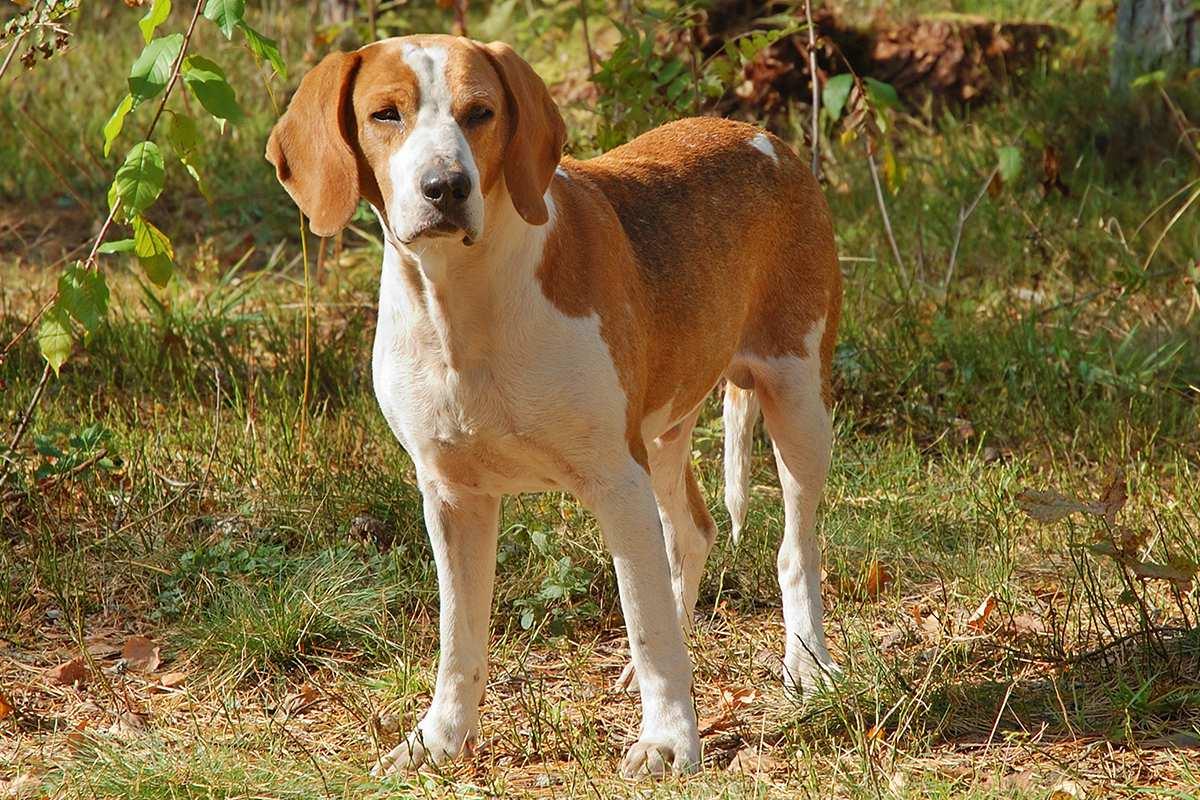 caine de vanatoare American Foxhound