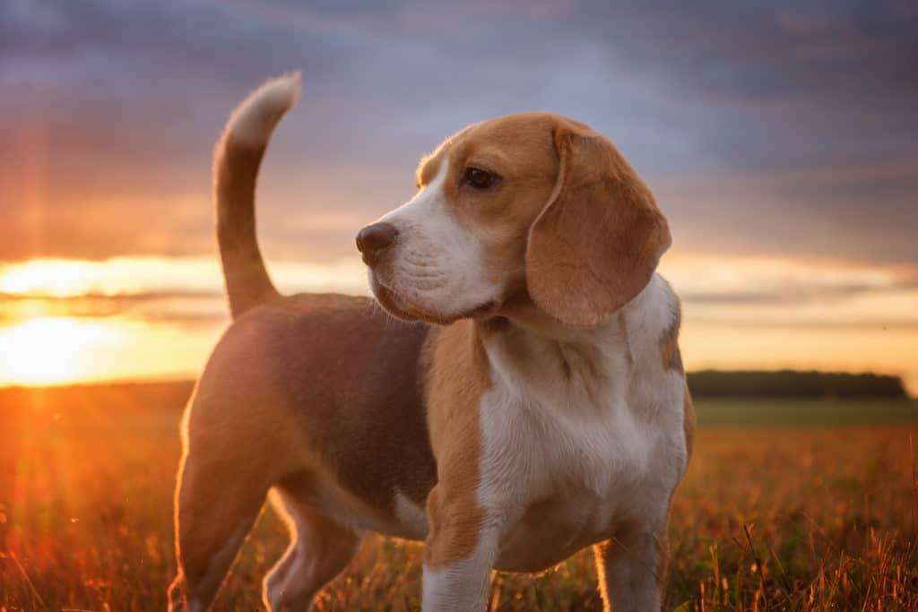 caine de vanatoare Beagle